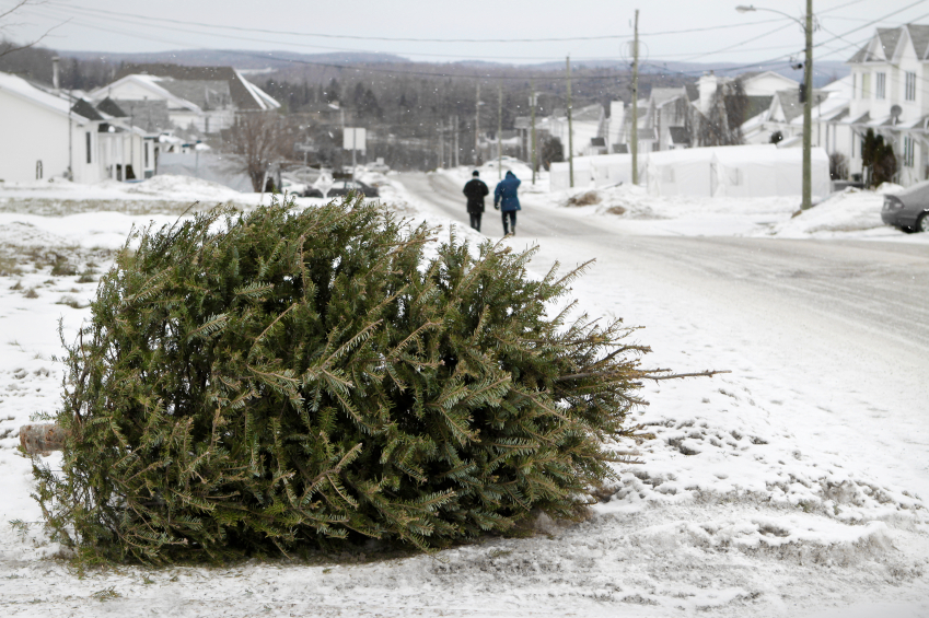 Life of the Christmas tree after Christmas – News from Cooperative ...