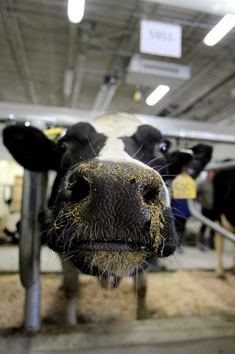 Cows Return To Remodeled Uw Barn  U2013 News From Cooperative