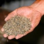 handful_of_wild_rice