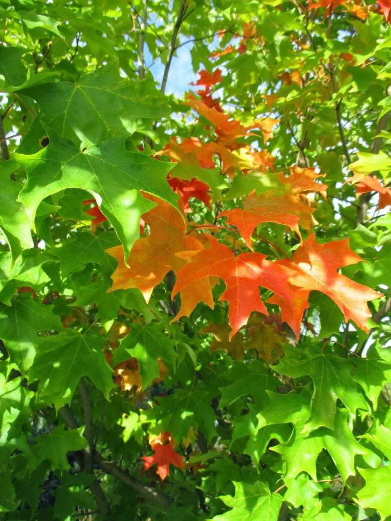 Fall Fiesta Sugar Maple (Acer saccharum 'BAILsta')