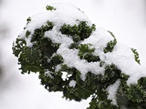 snow kale