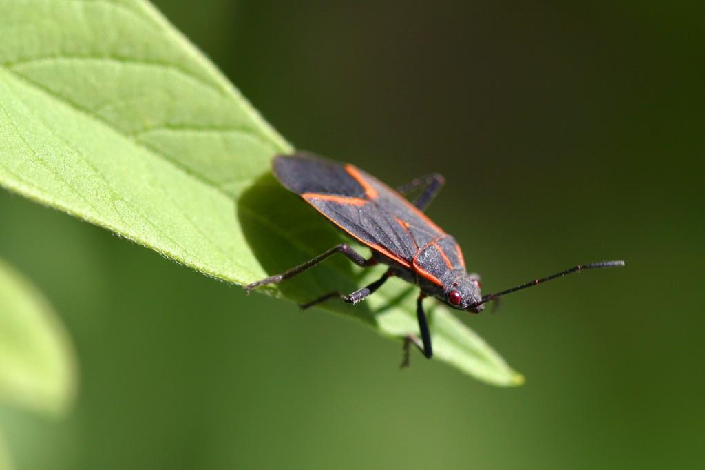 Boxelder_bug_pittsburgh
