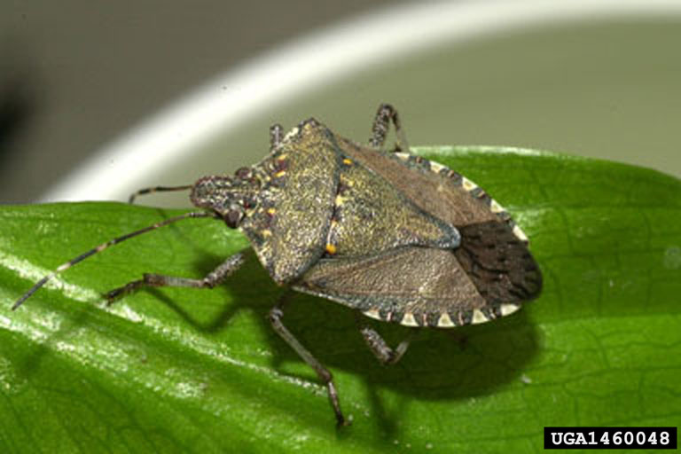 Brown_marmorated_stink_bug_adult