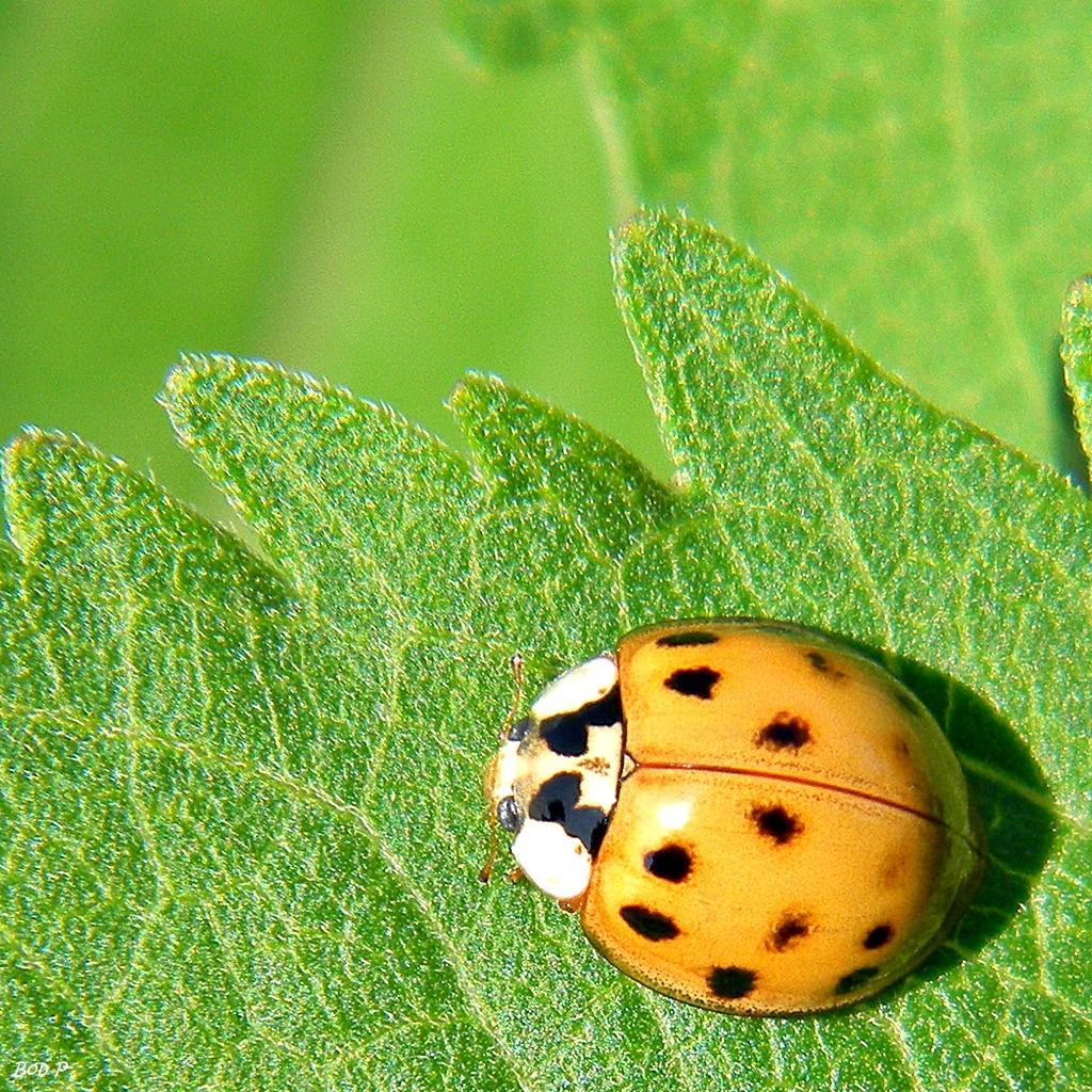 Multicolored_Asian_Lady_Beetle_(Harmonia_axyridis)_(7315655390)