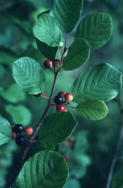 Glossy Buckthorn, UMN-Ext