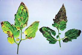 early blight and septoria