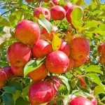 Multiple Apples hanging from an Apple tree on a bright blue background
