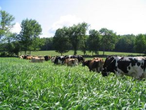 Dairy cows grazing on brown midrib sorghum sudangrass (BMR SS)