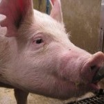 pig drinking water from pipe waterer