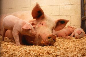 Sow_and_five_piglets public domain from usda ars