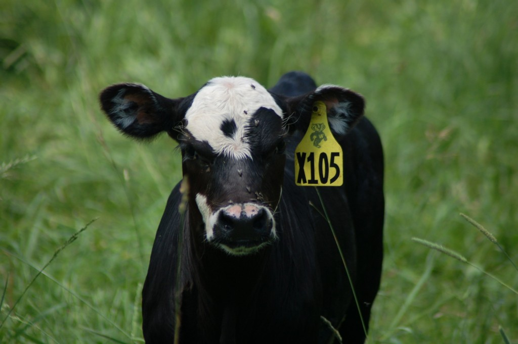 Lancaster calf