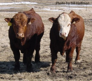 breeding soundness exam bull pdf