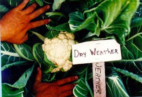 Plants id vegetables wisconsin 4 h projects cauliflower mightylinksfo