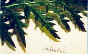 Artichoke, view 3