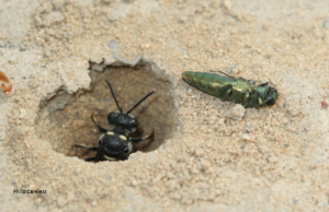 wasp with beetle