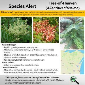 tree of heaven identification graphic